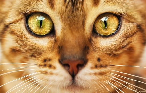 Картинка кот, взгляд, мордочка, окрас, зеленые глаза