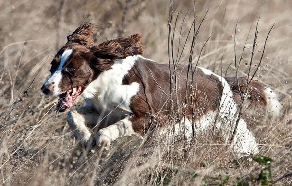 Картинка поле, собака, бег