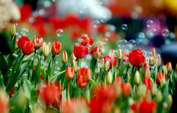 Картинка цветок, цвета, цветы, природа, краски, тюльпан, весна, мыльные пузыри, тюльпаны