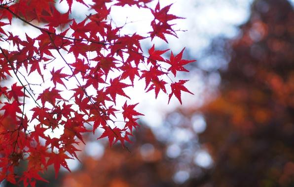Картинка осень, листья, макро, ветки, природа, блики, Дерево, размытость, красные, клен