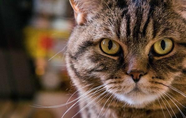 Картинка кошка, кот, усы, взгляд, морда, портрет