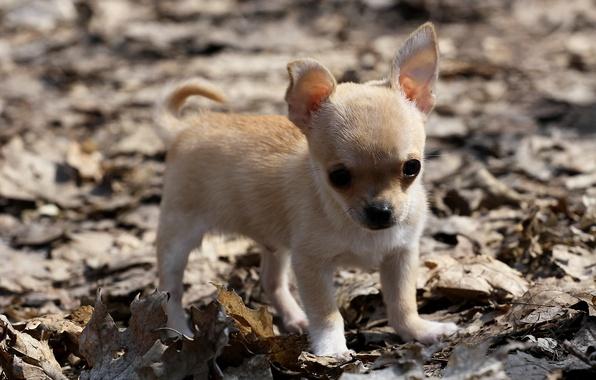 Картинка листья, собака, щенок, чихуахуа
