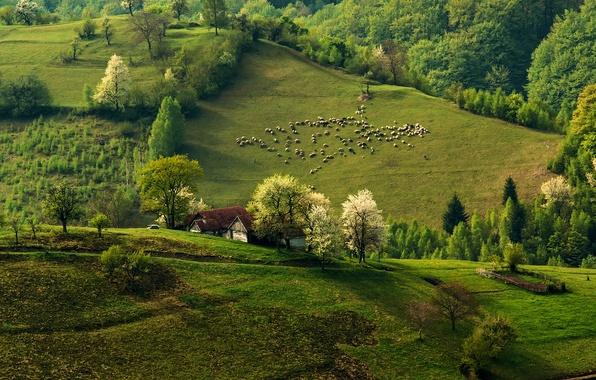 Картинка лес, природа, холмы, овцы, дома, весна, утро, отара