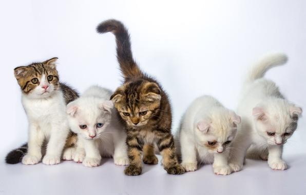 Картинка кот, кошки, котята, белый фон