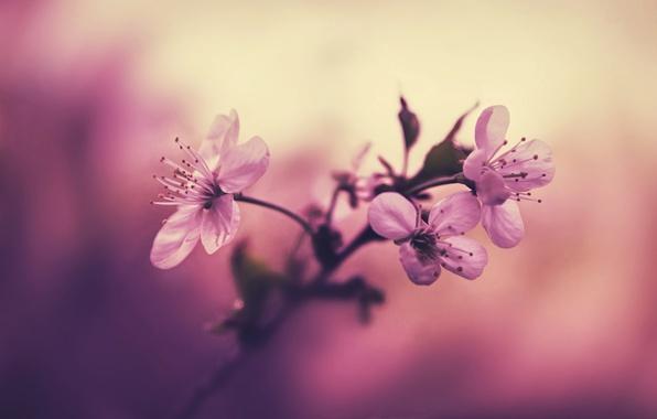 Картинка цветы, вишня, фон, ветка, лепестки, тычинки, розовые
