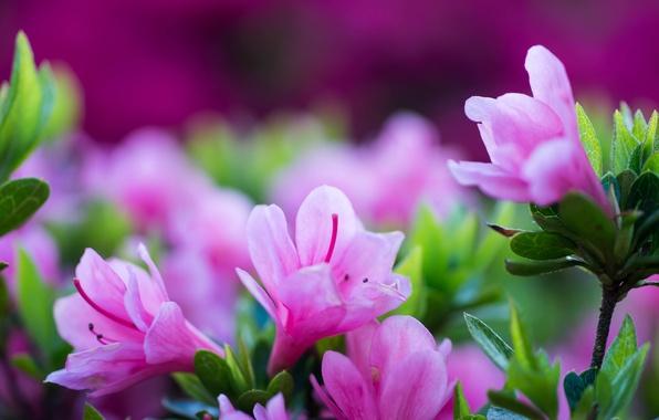 Картинка макро, цветы, лепестки, азалия