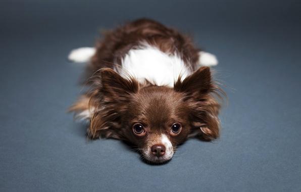Картинка взгляд, фон, Собака, пол, лежит, Чихуахуа