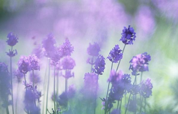 Картинка цветы, размытость, лаванда, сиреневый цвет