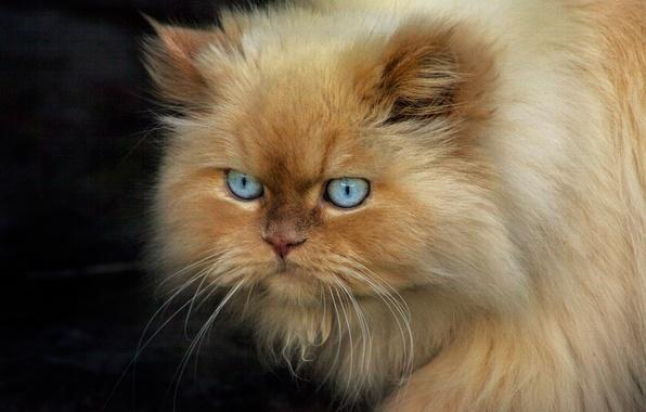 Картинка кот, взгляд, рыжий, concentration