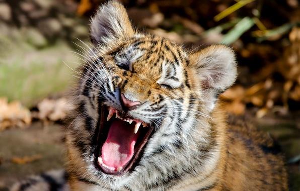 Картинка морда, тигр, пасть, детёныш, котёнок, Амурский тигр, тигрёнок