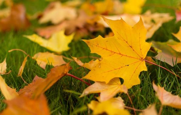 Картинка осень, листья, макро, фон, widescreen, обои, желтые листья, листик, wallpaper, листочки, листочек, широкоформатные, листики, background, …