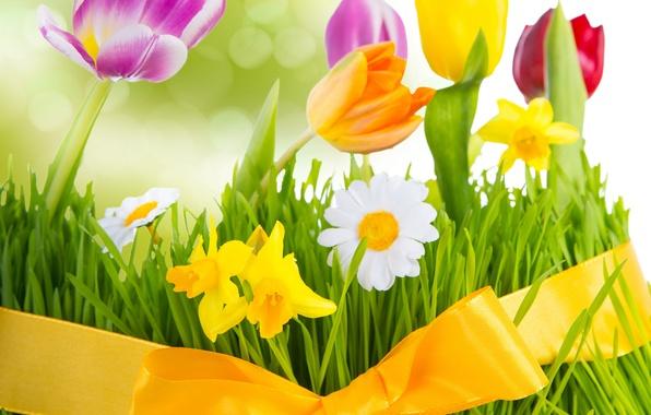 Картинка трава, цветы, ромашки, весна, colorful, луг, тюльпаны, бант, цветение, fresh, flowers, tulips, spring