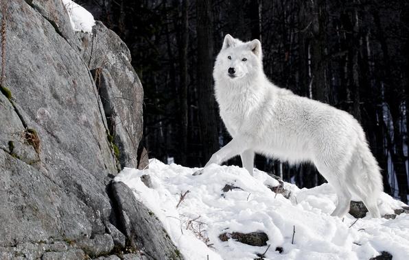 Картинка зима, лес, белый, снег, природа, камни, волк, хищник, волчица