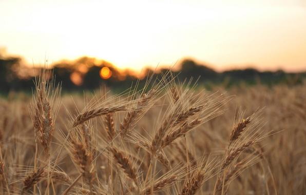 Чем отличается рожь от пшеницы по внешнему виду