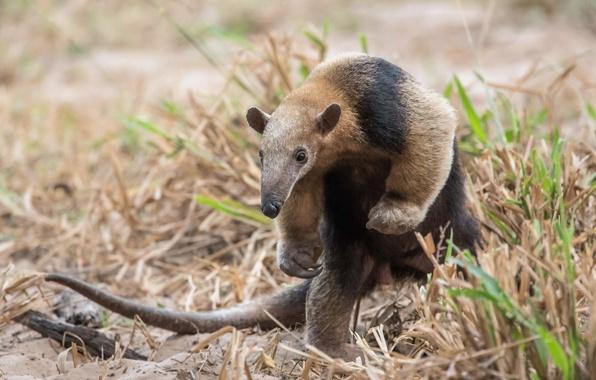 Картинка Brazil, Anteater, Southern Pantanal