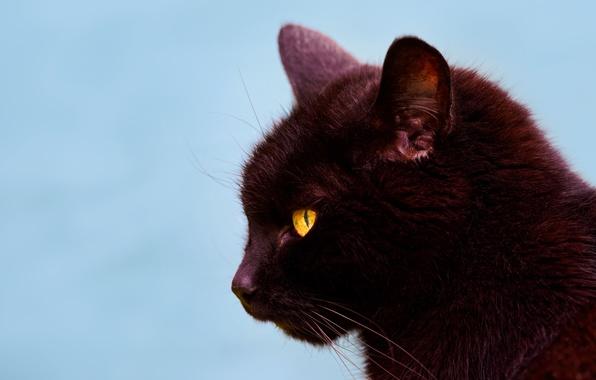 Картинка кошка, кот, фон, портрет, мордочка, профиль, чёрная кошка