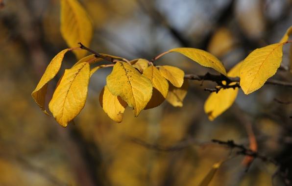 Фото обои солнечно, слива, листья, желтые