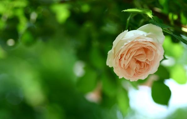 Картинка зелень, цветок, листья, природа, зеленый, листва, роза, цвет, лепестки, размытость, стебель, бутон, персиковый