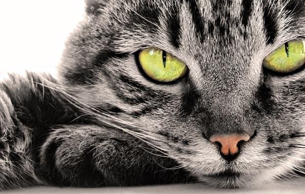 Картинка кошка, глаза, кот, усы, морда, полоски, лапы, лежит, окрас
