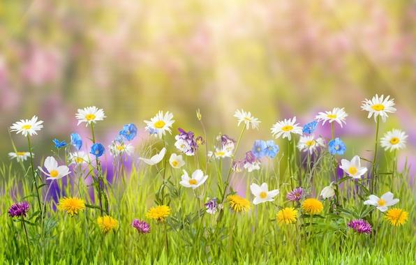 Картинка лето, трава, цветы, природа, блики, ромашки, одуванчики, лучи солнца, боке, васильки, лютики
