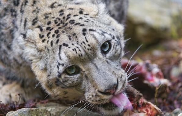 Картинка язык, кошка, взгляд, морда, хищник, ирбис, снежный барс, ©Tambako The Jaguar