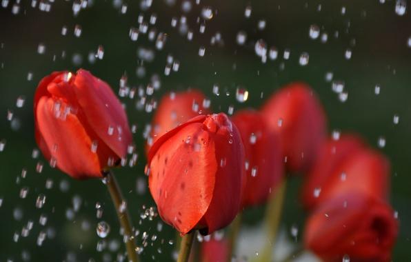 Картинка вода, капли, макро, цветы, природа, дождь, тюльпаны, красные, бутоны