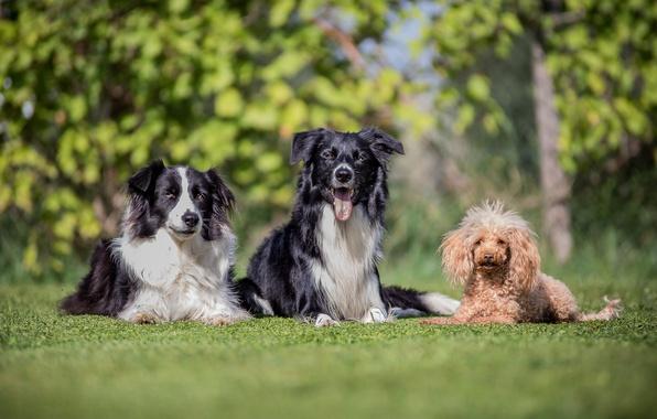 Картинка собаки, трио, друзья, пудель, боке, бордер-колли, троица