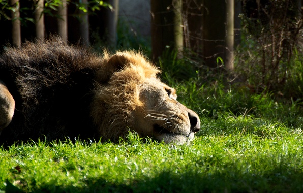 Картинка кошка, трава, животное, грива, Лев, лежит, зверь, отдыхает, Lion