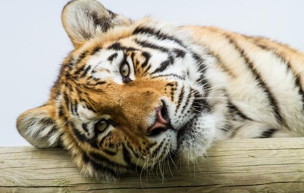 Картинка кошка, взгляд, тигр, портрет, амурский тигр
