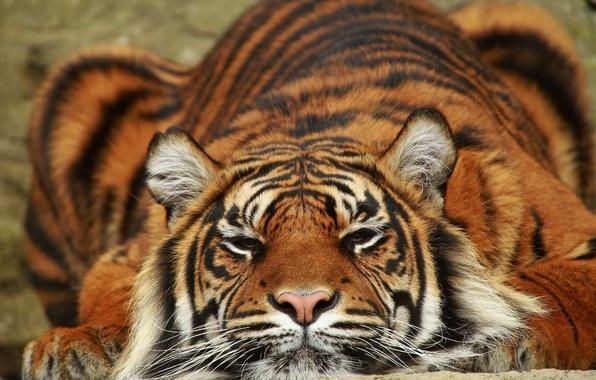 Картинка тигр, хищник, лежит, Суматра