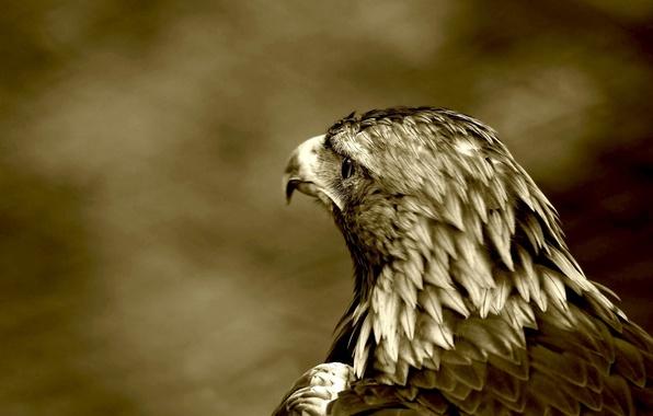 Картинка птица, хищник, ястреб