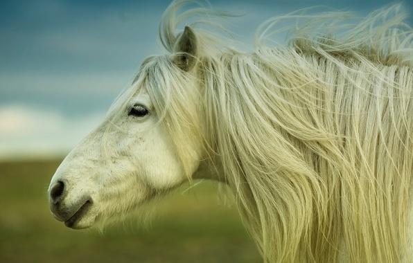 Картинка лошадь, грива, horse