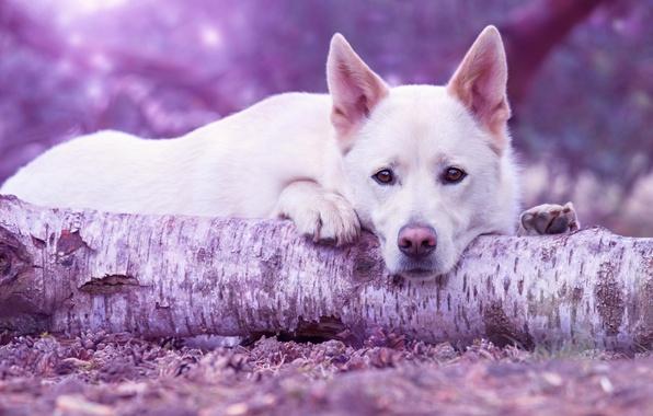 Картинка грусть, лес, взгляд, морда, поза, фон, дерево, портрет, собака, лапы, лежит, белая, бревно, шишки, пёс, …