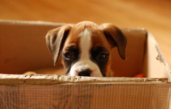 Картинка взгляд, малыш, Щенок, картонная коробка