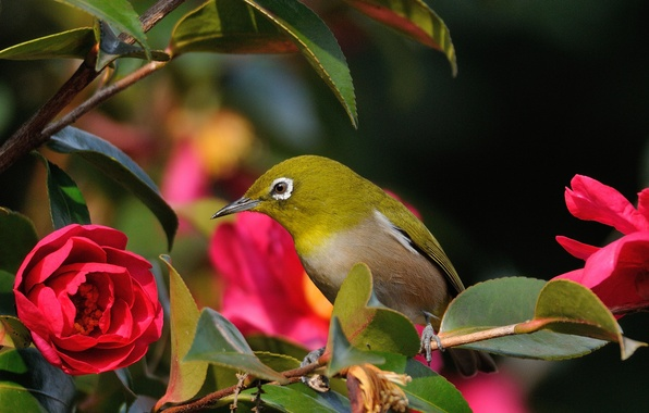 Картинка цветок, листья, птица, ветка, красная камелия, белоглазка