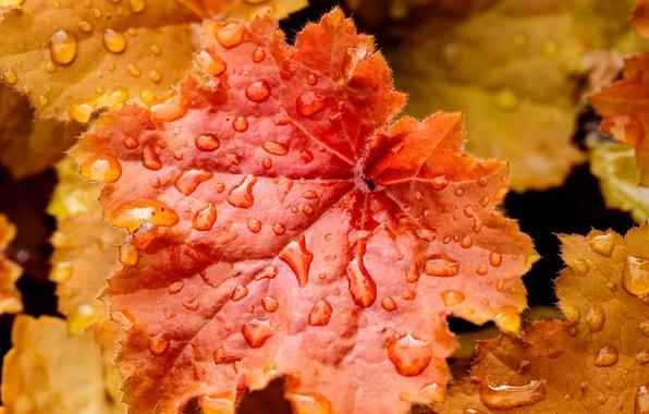 Картинка осень, листья, вода, капли, природа, лист, капельки, желтые, оранжевые