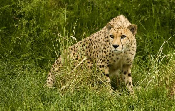 Картинка хищник, гепард, саванна, охота