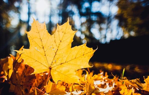 Картинка осень, листья, макро, желтый, природа, лист, сухие, клён, опавшие, боке, кленовый