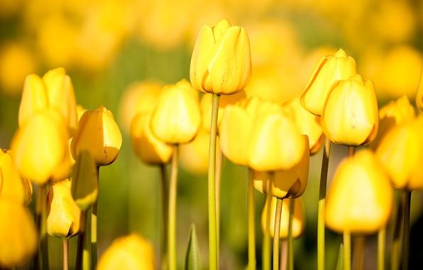 Картинка цветы, природа, сад, тюльпаны, photos, огород flowers, free pictures, tulips