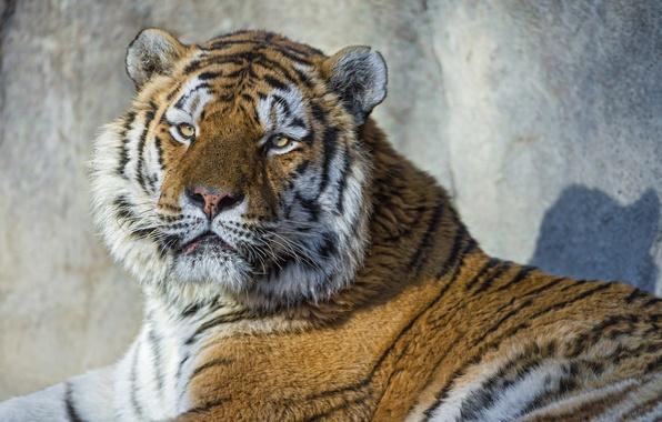 Картинка кошка, взгляд, морда, тигр, портрет, амурский тигр, ©Tambako The Jaguar