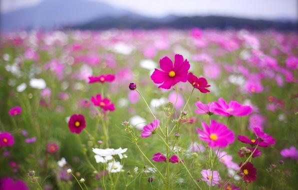 Картинка поле, макро, цветы, лепестки, размытость, розовые, белые, малиновые, боке, Космея