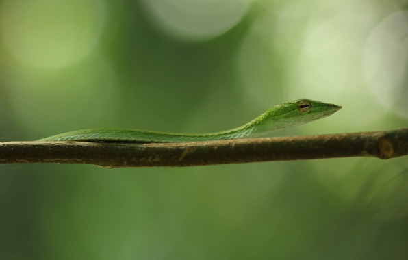Картинка green, black, snake, yellow, eye, branch, vine snake