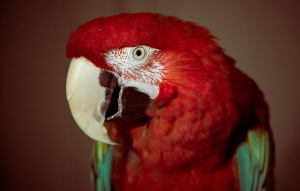Картинка красный, глаз, птица, перья, попугай