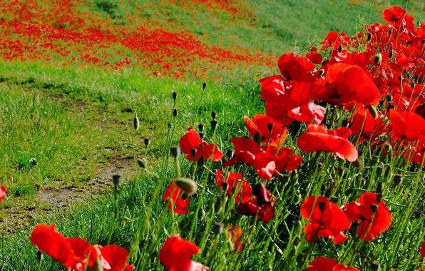 Картинка поле, трава, цветы, маки, луг, тропинка