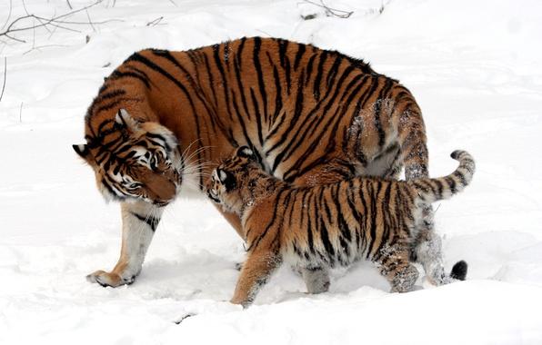 Картинка зима, снег, полоски, кошки, шерсть, малыш, мех, окрас, прогулка, котёнок, тигры, детеныш, мама, тигрица, дикие