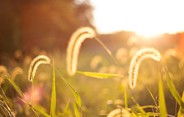 Картинка поле, листья, солнце, макро, фон, widescreen, обои, растение, колоски, wallpaper, колосья, широкоформатные, background, колосок, полноэкранные, …