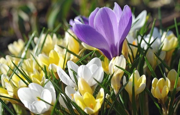 Фото обои шафран, макро, крокусы, весна