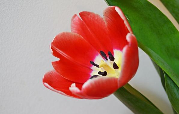 Картинка листья, макро, тюльпан, весна, лепестки