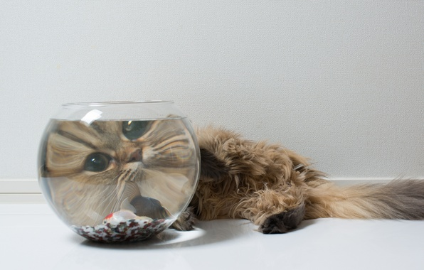 Картинка кошка, морда, аквариум, рыбка, Daisy, Ben Torode, Benjamin Torode