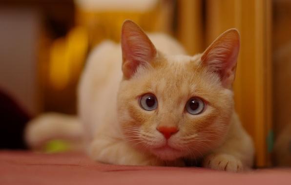 Картинка кошка, взгляд, мордочка, рыжая